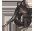 Scimpanzé ##STADE## - manto 69
