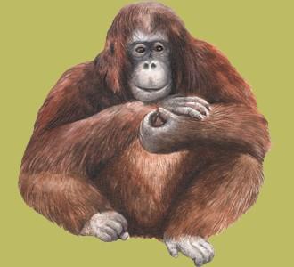 Accogli un animale della giungla di specie orango-tango