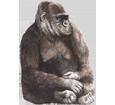 Gorilla ##STADE## - manto 69