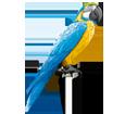Pappagallo ara blu ##STADE## - manto 5