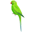 Cocorita verde ##STADE## - manto 72