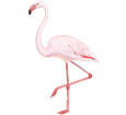 Fenicottero rosa ##STADE## - manto 68