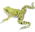 Rana verde ##STADE## - manto 72