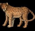 Giaguaro ##STADE## - manto 46