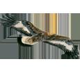 Aquila reale ##STADE## - manto 69